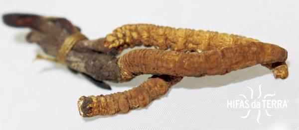 Cordyceps-Hifas-da-Terra-1