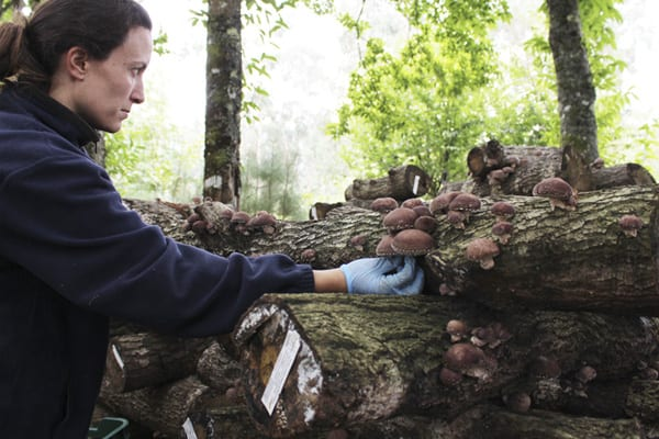 cultivo ecológico de Shiitake en Hifas da Terra
