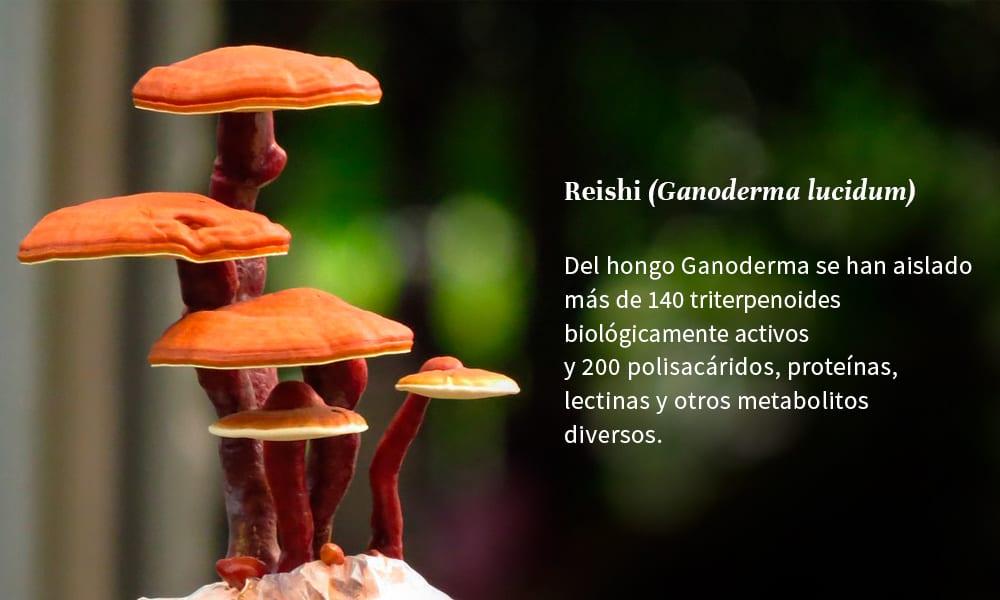 Reish: polisacáridos y triterpenos