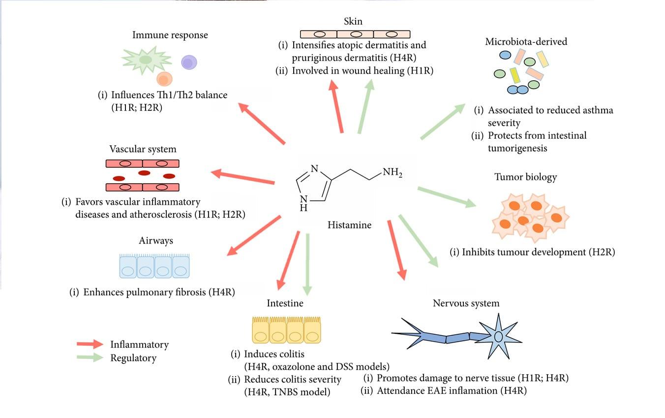 Funciones del la histamina
